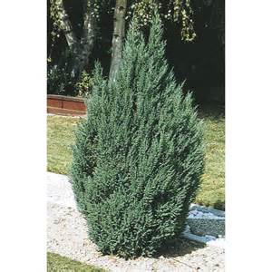 Shop 2 gallon blue point juniper feature shrub l3785 at