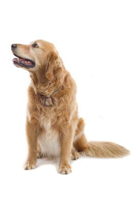 golden retriever pris golden retriever alt om den tillidsfulde hund