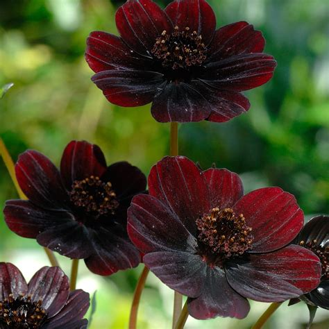 chocolate cosmos cosmos atrosanguineus chocolate cosmos dobbies garden