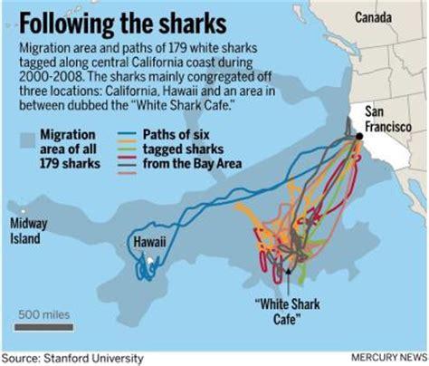 shark attack map california great white sharks at times enter san francisco bay