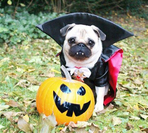 pug breeders in pugs puppies in costumes www pixshark images galleries with a bite