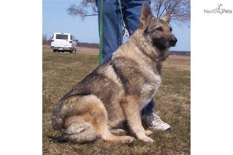 german shepherd puppies for sale in michigan 400 german shepherd for sale for 100 near central michigan michigan d5cb024f 5371