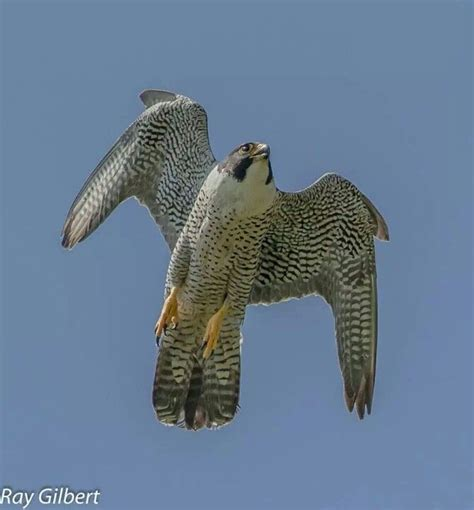 40 best images about falcons nest on pinterest atlanta falcons football wall and blog 40 best peregrine falcon images on pinterest falcons