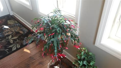 best 28 how much light does a christmas cactus need