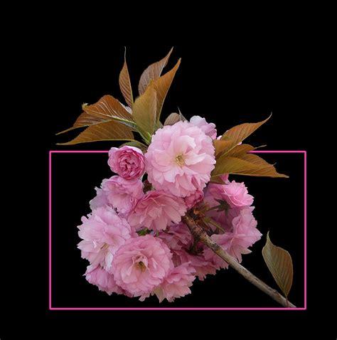 immagini fiori di ciliegio giapponese 351 ciliegio giapponese foto immagini piante fiori e