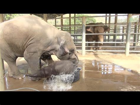 elephant in the bathtub baby elephant bathing in the bathtub youtube