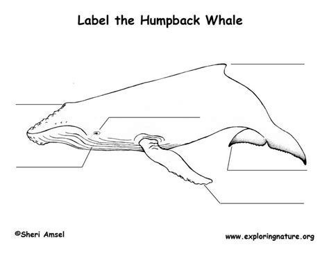 diagram of a humpback whale whale humpback labeling page