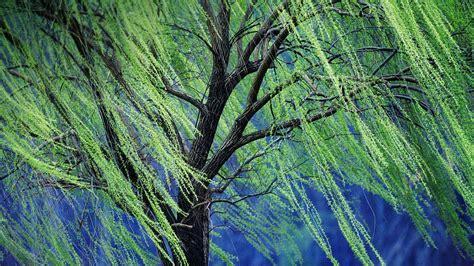 weeping willow bing wallpaper