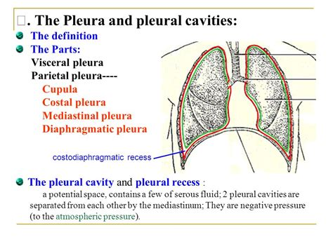 Define Cupula Lung Position Located In The Thoracic Cavity Both
