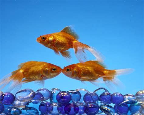 golden fish pebbles wallpapers   computer