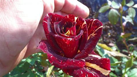 imagenes de rosa y mas la rosa abracadabra y m 225 s rosales abril 2011 youtube