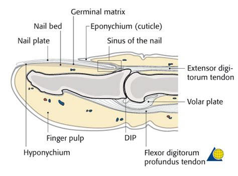 Nail Bed Injury What Keeps A Nail Attached To A Toe Or Finger Once The