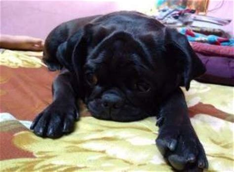 do black pugs shed less black pug dogs genes markings black vs fawn
