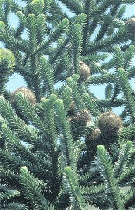abeti da giardino conifere abeti pini pinophyta