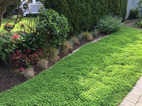 clover lawn and landscape micro clover lawn alternative level ground landscape