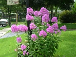 Tall Phlox Flowers - purple perennial flowers pink phlox divaricata tall pink
