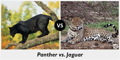 leopard jaguar panther difference difference between panther and jaguar