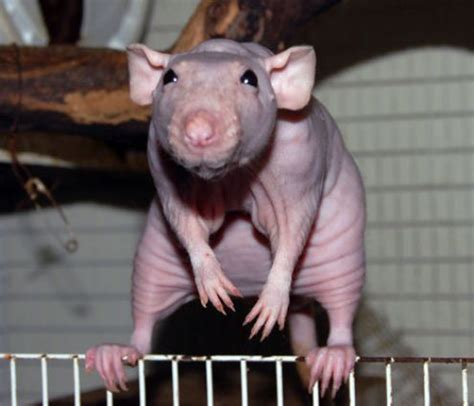 Hairless rodent saturday   C6 H12 O6