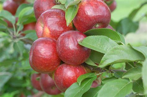 Best Fruit Tree For Backyard Growing Apples In Home Garden