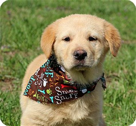 golden retrievers in ct glastonbury ct golden retriever mix meet toby a puppy for adoption