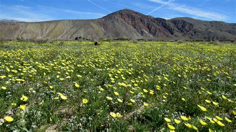 anza borrego super bloom wildflower super bloom photos of the anza borrego desert