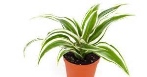 ribbon plant aspca