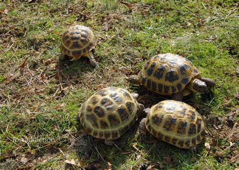 russian tortoises tortaddiction prepping the russian tortoises for