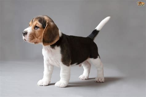 breed facts beagle breed information buying advice photos and facts pets4homes