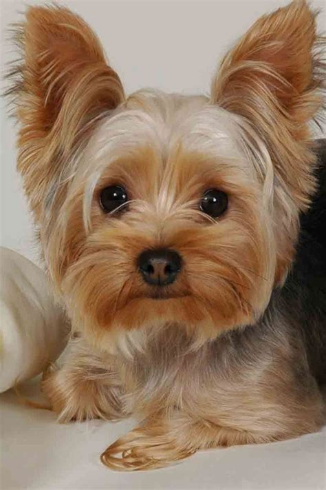 yorkie puppies wallpaper 34 puppy chrome themes desktop wallpapers more for brand thunder
