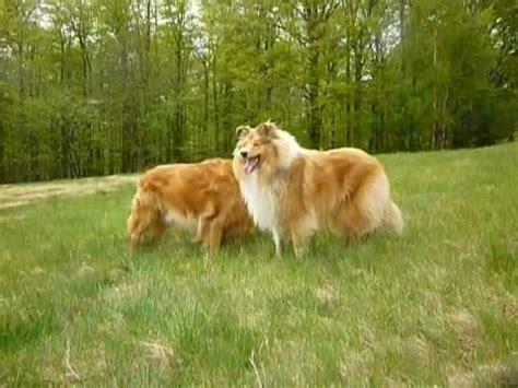 golden retriever collie golden retriever and collie