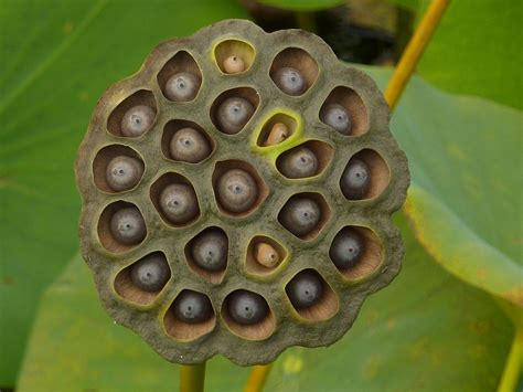 in pods if your friend shared that lotus seed post do them a favour end their misery