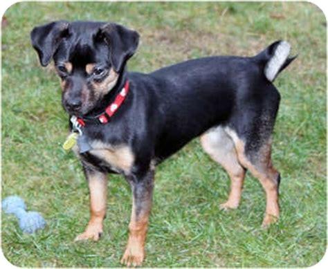 pug pinscher mix shayna adopted puppy lynnwood wa pug miniature pinscher mix
