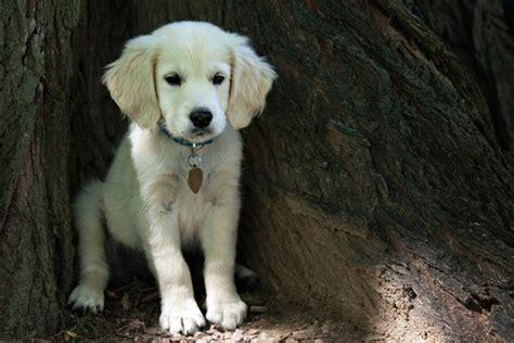 why is my golden retriever so small a miniature golden retriever puppy butler pa photographer