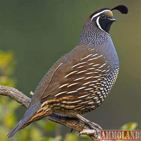 quail grouse ptarmigan and band tailed pigeon general