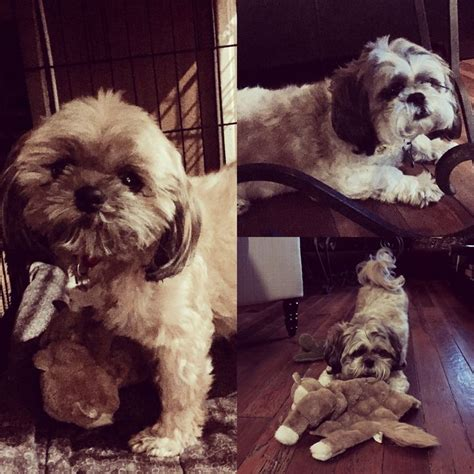 are shih tzu easy to potty 30 best dogs in need of help in los angeles ca images on