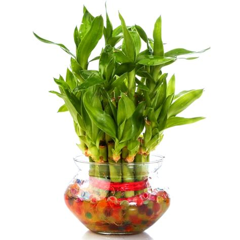 Bamboo 2 Best Product feng shui luck bamboo 2 layers plant add on product