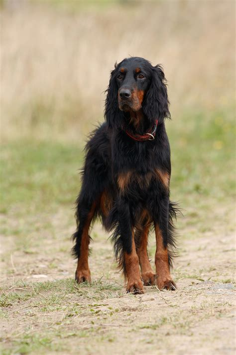 setter dogs pictures beautiful gordon setter dog photo and wallpaper beautiful