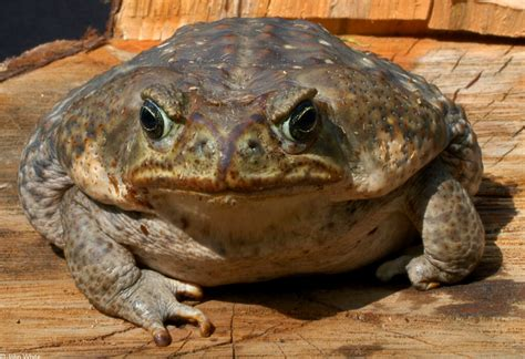 how to get rid of cane toads in backyard rhinella marina cane toad bufo marinus