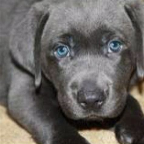 charcoal lab puppies charcoal lab pets the o jays and the