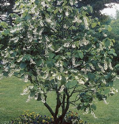 tree that smells like oranges styrax obassia fringe tree smells of vanilla and orange blossom blooms mid may grows to 20