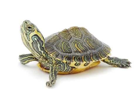 images of turtles names for pet turtles lovetoknow