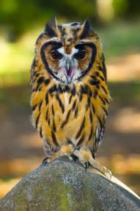 1000 ideas about owls on pinterest pet pet long eared owl and great gray owl