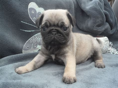 grey pug puppies for sale 1 1 stunning pug puppies llanelli carmarthenshire pets4homes