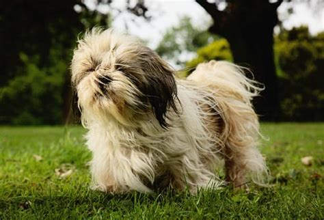 shih tzu problems common health problems for popular breeds in pictures