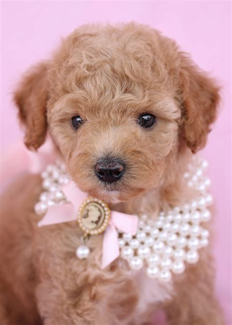 puppy finder florida poodle tea cup poodle poodles and teacup breed info image breeds picture