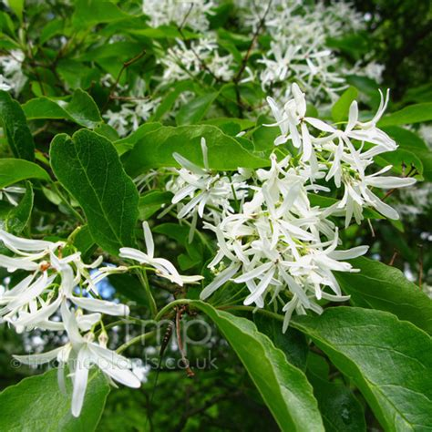 Net Name Search Florida A Large Image Of Chionanthus Retusus Fl From Plant Encyclopedia