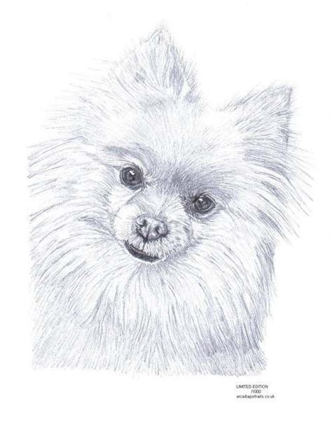 pomeranian drawing 17 best images about sketching on an eye pansies and draw an owl