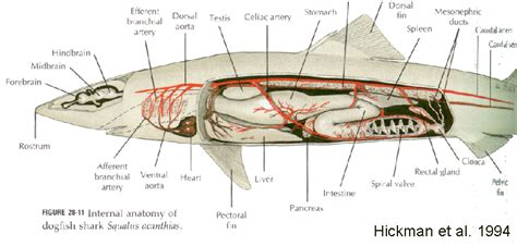 whale respiratory system diagram whale circulatory system diagram images how to guide and