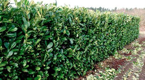 ficus nitida hedge ficus nitida hedge www pixshark images galleries