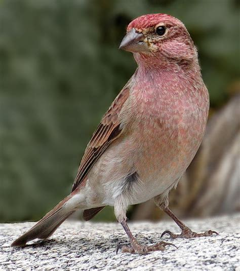 top 28 finch san diego yellow house finch greg in san